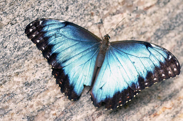 Common Morpho Butterfly Art Print featuring the photograph Common Morpho by Cheryl Cencich