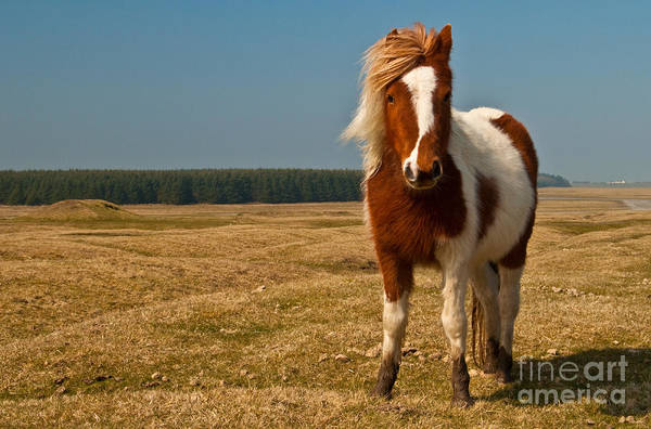 Pony Art Print featuring the photograph Cornish Pony by Rob Hawkins