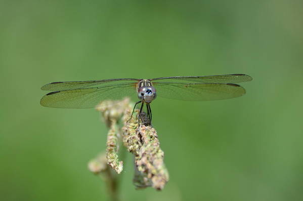 Dragonfly Art Print featuring the photograph Enjoying The Ride by Kathy Gibbons