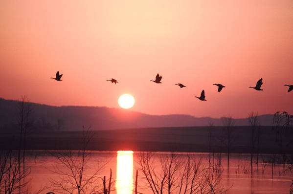 Geese Print featuring the photograph Flock Of Canada Geese Flying by Ira Block