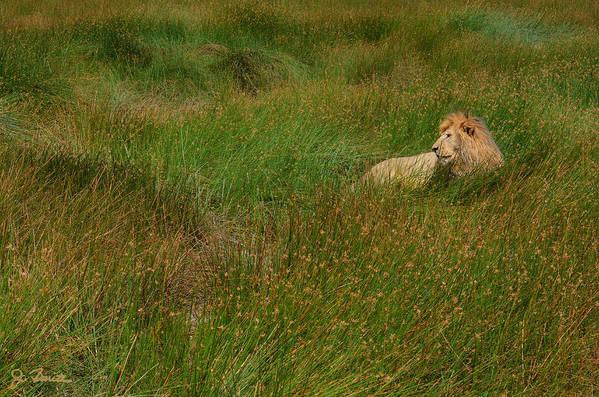 Lion Art Print featuring the photograph Lion In The Grass by Joe Bonita