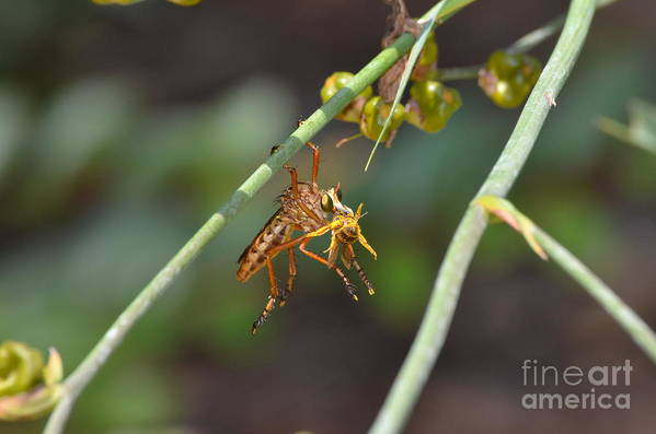 Robber Fly Art Print featuring the photograph Lunch Break by Kathy Gibbons