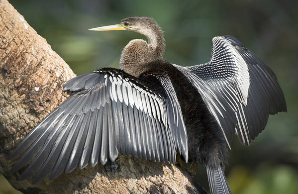 Anhinga Art Print featuring the photograph Male Anhinga by Patrick M Lynch