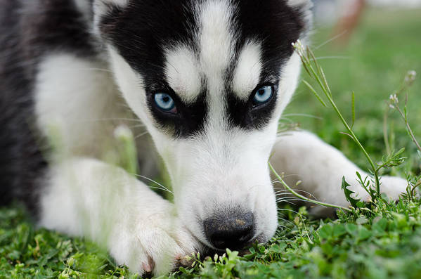 Husky Art Print featuring the photograph Meko by Off The Beaten Path Photography - Andrew Alexander
