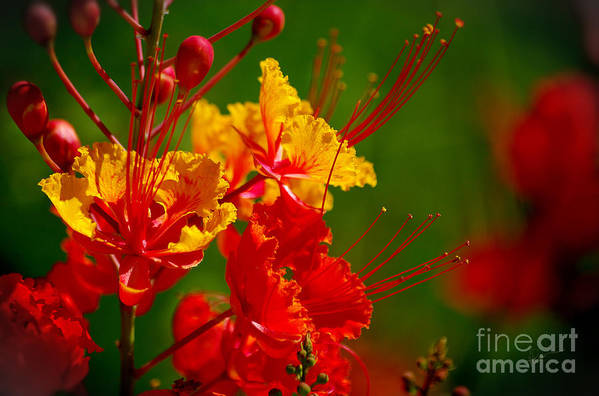Photography Art Print featuring the photograph Mexican Bird Of Paradise by Vicki Pelham