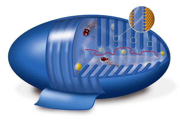 Mitochondrion Print featuring the photograph Mitochondrion, Artwork by Art For Science