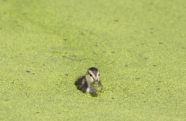 Wetland Art Print featuring the photograph Mottled Duckling by Patrick M Lynch