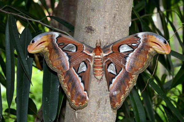 Nature Art Print featuring the digital art Not A Butterfly But An Atlas Moth by Eva Kaufman