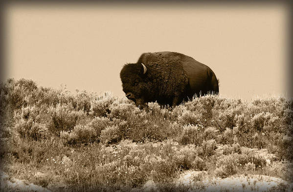 Buffalo Art Print featuring the photograph Old Timer by Shane Bechler