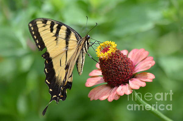 Pale Swallowtail Art Print featuring the photograph Pale Swallowtail And A Halo by Kathy Gibbons