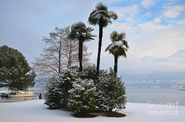 Palm Art Print featuring the photograph Palm Trees With Snow by Mats Silvan