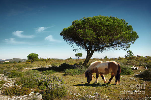 Animal Art Print featuring the photograph Pony Pasturing by Carlos Caetano