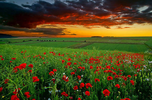 Horizontal Art Print featuring the photograph Poppy Field by Andrew Thomas