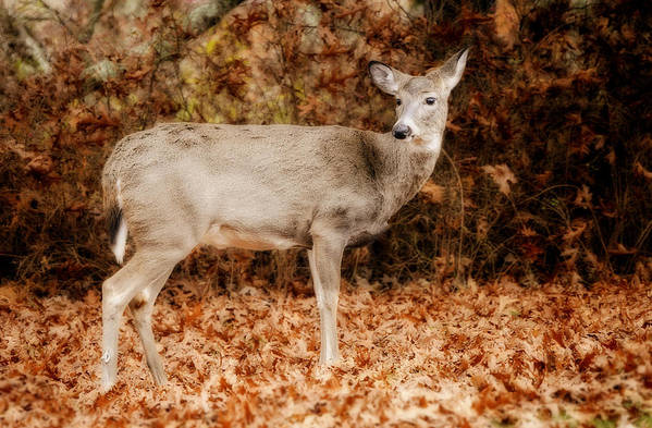 Deer Art Print featuring the photograph Portrait Of A Deer by Kathy Jennings