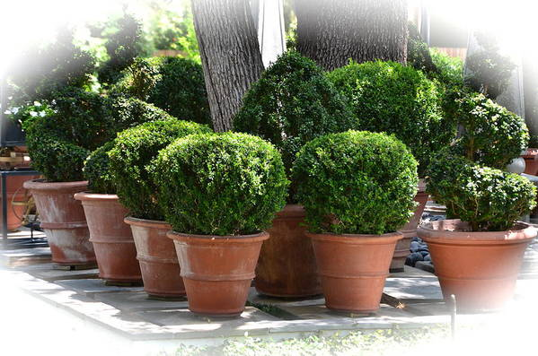 Potted Plants Art Print featuring the photograph Potted Topiary Garden by Kathy Lewis