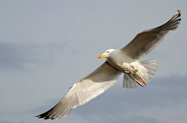 Nature Art Print featuring the photograph Seagull by David Resnikoff