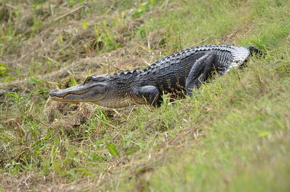 Alligator Art Print featuring the photograph See Ya Later Gator by Kathy Gibbons