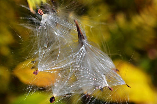 Plant; Weed; Milkweed; Asclepias Syrica; Perennial; Silk; Season; ; Fall; Colorful; Fluffy; Wild; Nature; Seeds; Pod; Group; Many Art Print featuring the photograph Silky Autumn by Susan Leggett