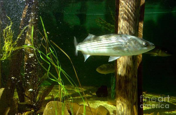 Aquarium Art Print featuring the photograph Striped Bass In Aquarium Tank On Cape Cod by Matt Suess
