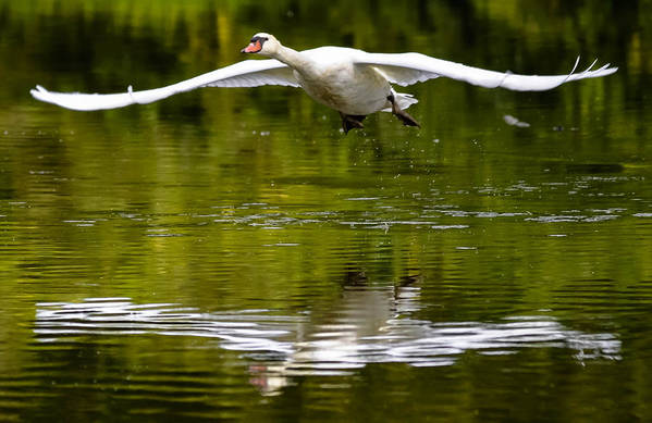 Art Print featuring the photograph Swan Ascent by Brian Stevens