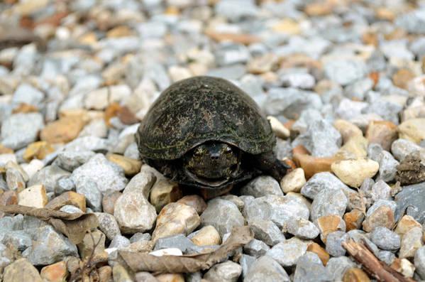 Turtle Art Print featuring the photograph Sweet Turtle Face by Sarah Wojcik