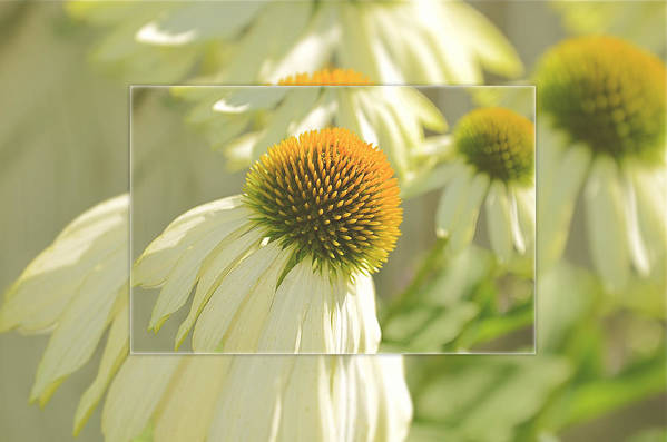 Coneflower Art Print featuring the photograph The Beauty Of The Coneflower by Kay Jantzi