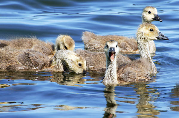 Goslings Art Print featuring the photograph The Goslings by Cheryl Cencich