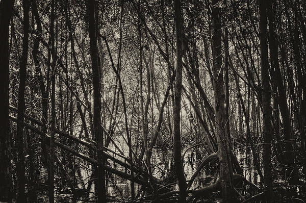 Mangrove Forest Art Print featuring the photograph The Mangrove by Armando Perez