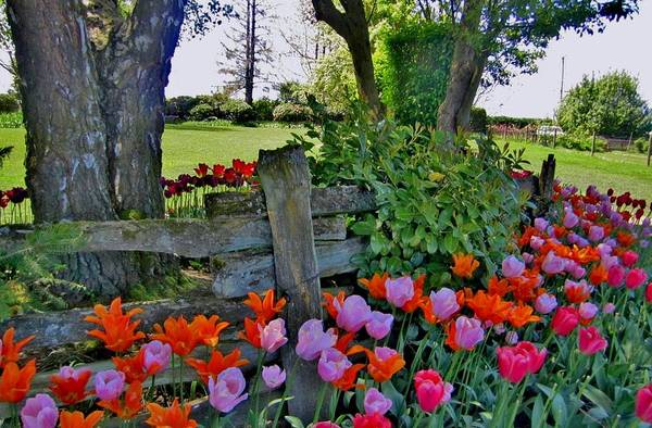 Tulip Art Print featuring the photograph The Other Fence by Ami Tirana