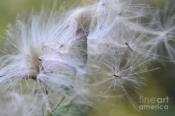 Thistle Seeds Art Print featuring the photograph Thistle Seeds by Bob Christopher