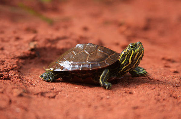 Animal Art Print featuring the photograph Turtle by Emanuel Tanjala
