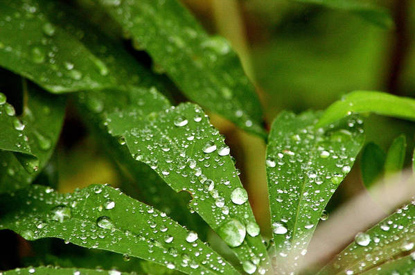 Macro Leaves Water Drops Art Print featuring the photograph Water Drops by Ernestas Papinigis