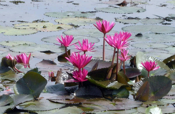 Landscape Art Print featuring the photograph Water Lilly by Priya Abraham