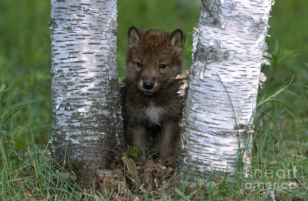 Wolves Art Print featuring the photograph Wolf Pup Playing Peekaboo by Sandra Bronstein