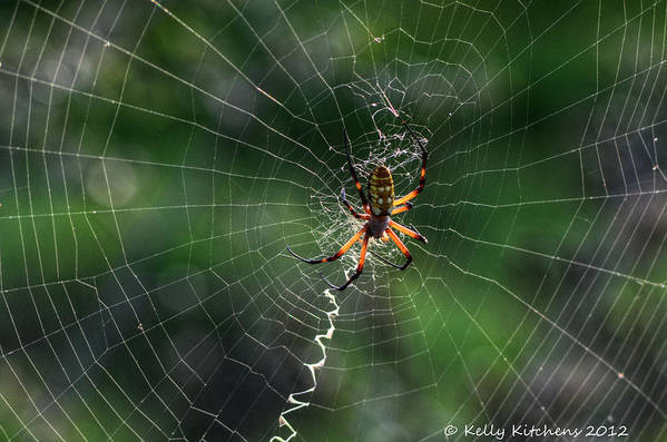 Spider Art Print featuring the photograph Zipper Spider by Kelly Kitchens
