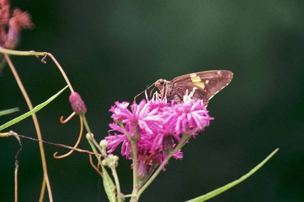 Butterfly Art Print featuring the photograph 072106-19 by Mike Davis