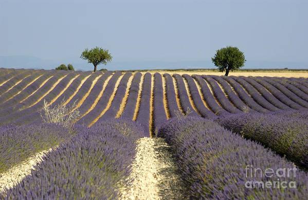 Lavender Print featuring the photograph Field Of Lavender. Provence by Bernard Jaubert