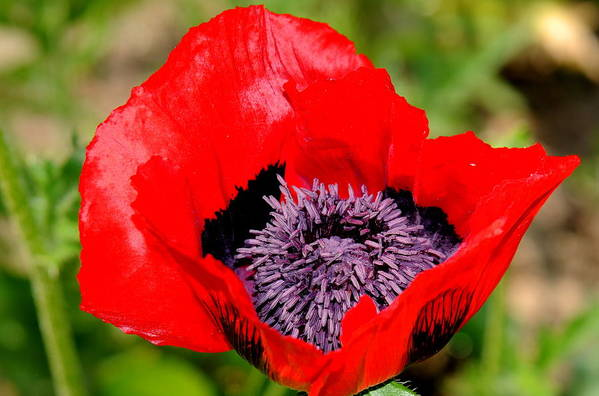 Poppy Art Print featuring the photograph Poppy by Patrick Short