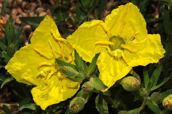 Yellow Flowers Art Print featuring the photograph Yellow Flowers by Patrick Short