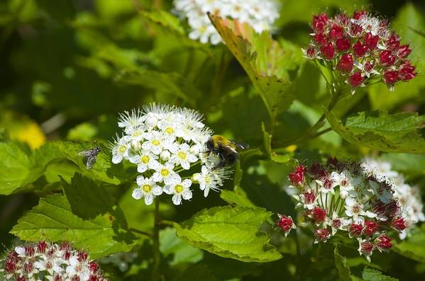 Wildlife Art Print featuring the photograph A Bee And A Fly Meet On A Flower by Hella Buchheim