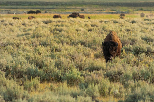 American Bison Art Print featuring the photograph American Bison by Sebastian Musial