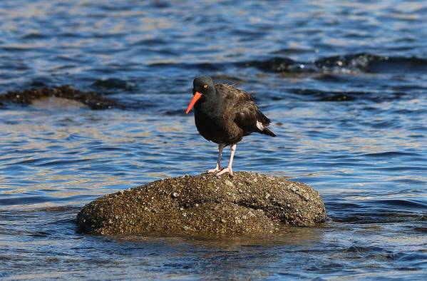 American Art Print featuring the photograph American Oystercatcher - 2 by Christy Pooschke