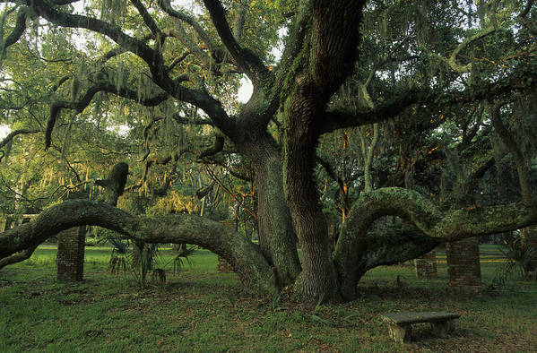 North America Art Print featuring the photograph An Old Live Oak Draped With Spanish by Michael Melford