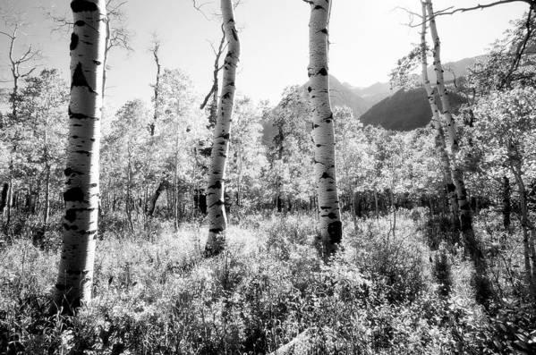 Landscape Art Print featuring the photograph Aspens Black And White by Caroline Clark