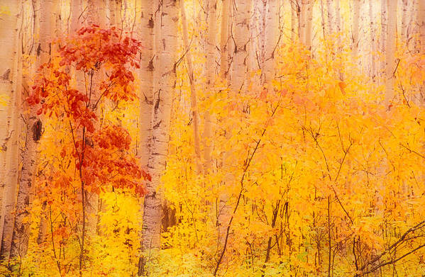 Photography Art Print featuring the photograph Autumn Forest Wbirch Trees Canada by Panoramic Images