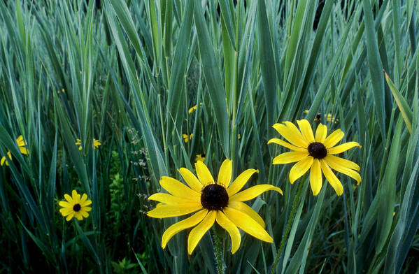 Flower Art Print featuring the photograph Black Eyed Susan And Tall Grass by Tony Ramos
