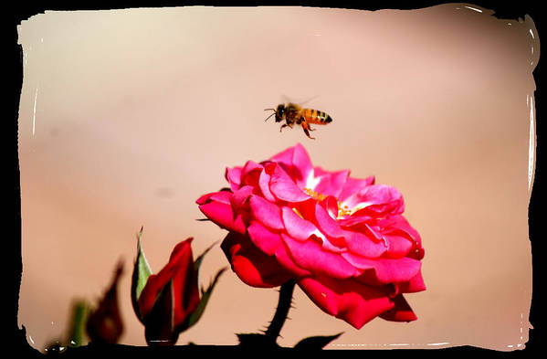 Bee Art Print featuring the photograph Both Beeuties by Ellen Lerner ODonnell