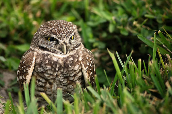 Burrowing Art Print featuring the photograph Burrowing Owl by Mandy Wiltse