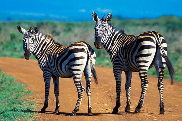 Burchell Art Print featuring the photograph Bushnell's Zebras by Tina Manley