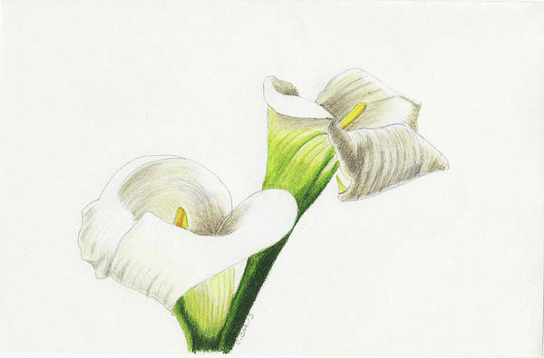 Lilies Art Print featuring the drawing Calla Lilies No 1 by Christina Beck